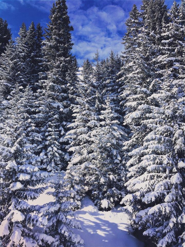 forêt de sapins blancs